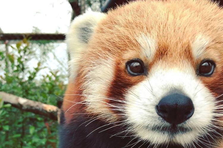 Red Panda at Folly Farm