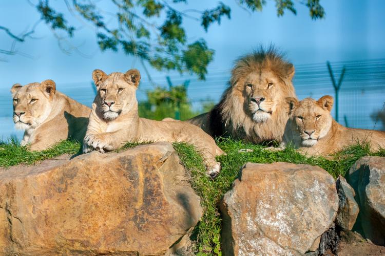Folly Farm lions