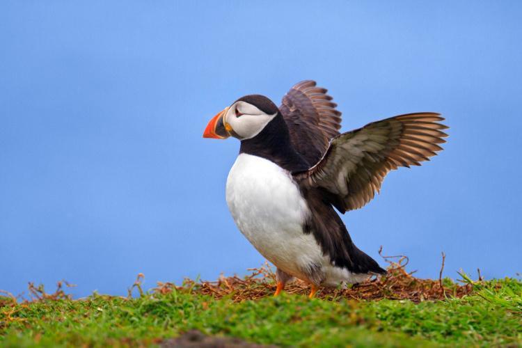 Pembrokeshire puffin
