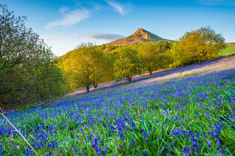 View towards Roseberry Topping hill with bluebells in the North York Moors
