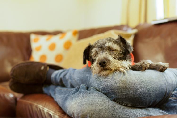 Dog snoozing on his owner on the sofa in a dog-friendly cottage