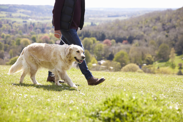 A golden retriever and its owner on a walk in the countryside