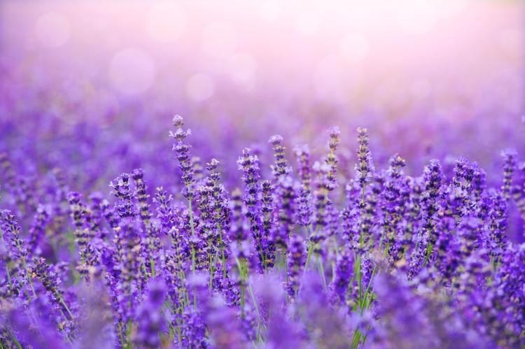 Yorkshire Lavender Garden