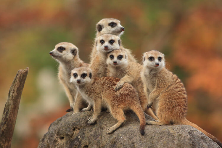 Meerkats which you can see at Folly Farm