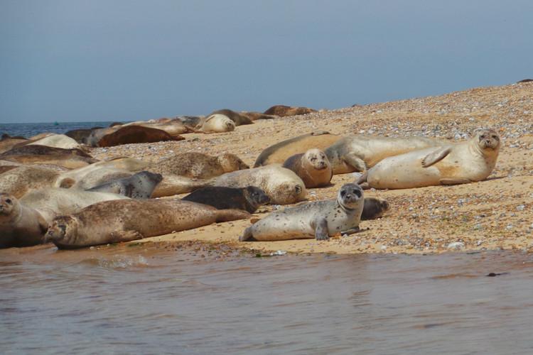 Seals at Blakeney Point near Cromer