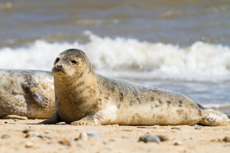 Seals at Blakeney - Things to do in Norfolk with kids