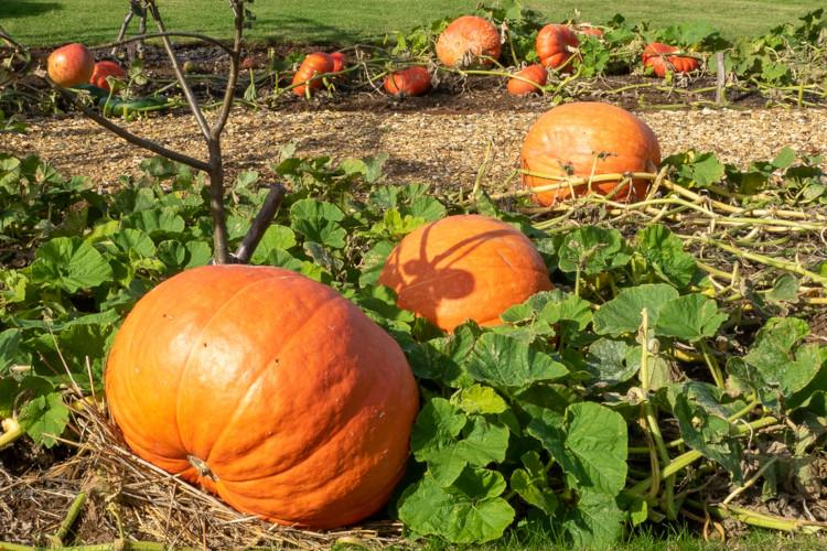 Best PYO pumpkin patch UK